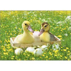 Képeslap, kacsák